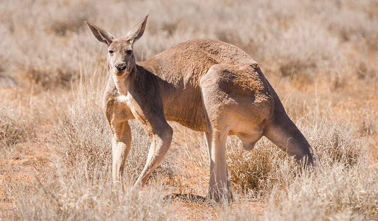 Red kangaroo (Macropus rufus), Sturt National Park. Photo: John Spencer
