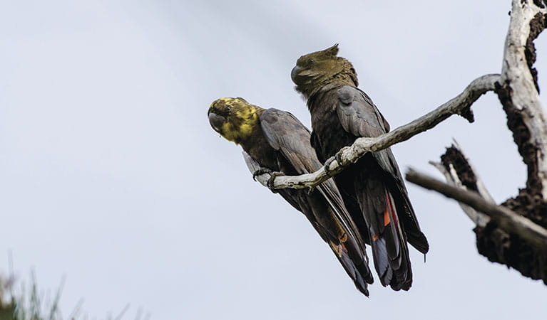 A pair of glossy-black cockatoos on tree branch. Photo: John Spencer/OEH.