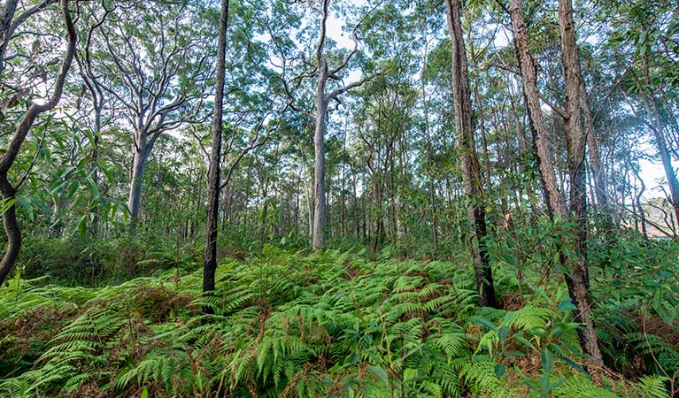 Ferns in the forest, Wallumatta Nature Reserve. Photo: John Spencer