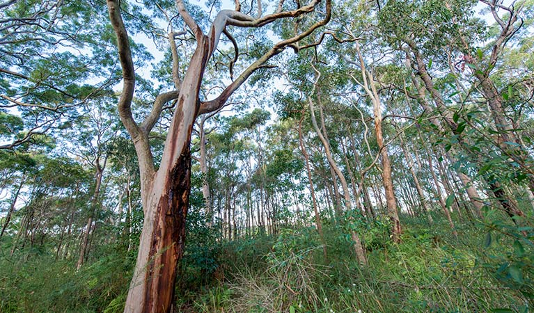 Gum tree forest, Wallumatta Nature Reserve. Photo: John Spencer