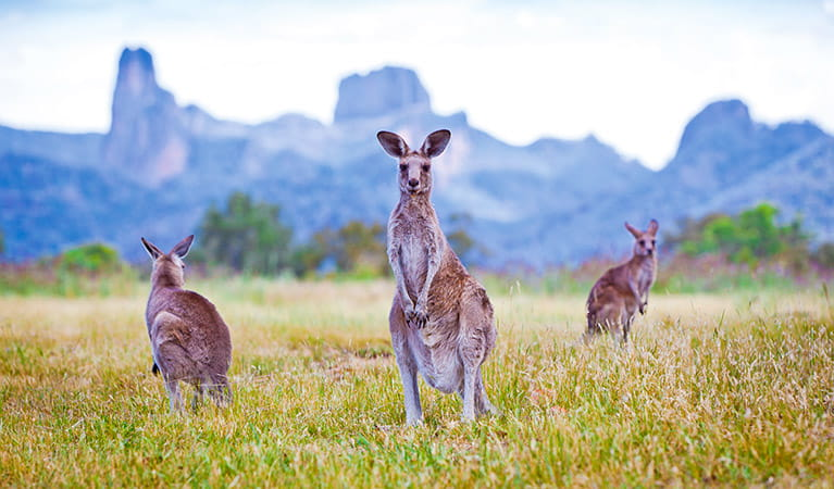 Kangaroos, Warrumbungle National Park. Photo: Rob Cleary