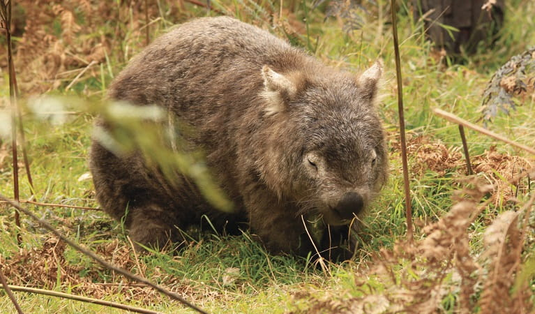 Common wombat. Photo: Steve Townsend