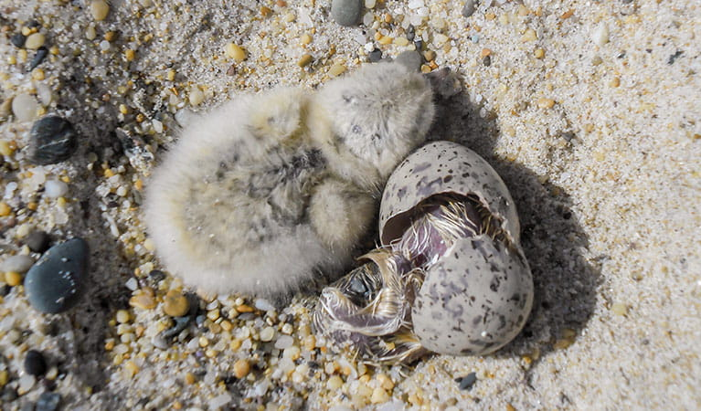 Little tern (Sternula Albifrons) hatching, Bongil Bongil National Park. Photo: C Manning/OEH