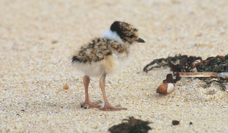Hooded plover (Thinornis rubricollis) chick. Photo: Michael Jarman/OEH