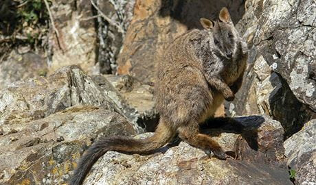 Brush-tailed rock-wallaby (Petrogale penicillata), Morton National Park. Photo: Shane Ruming