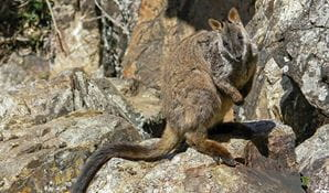 Friends of the brush-tailed rock-wallaby
