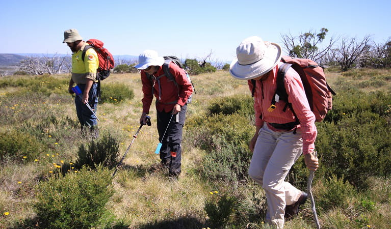 Volunteers and staff survey for orange hawkweed at Fifteen Mile Ridge, Kosciuszko National Park. Photo: Jo Caldwell