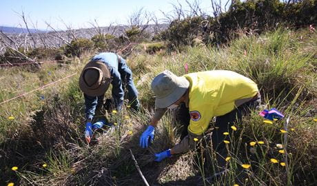 Volunteers hand treat orange hawkweed in a perched alpine bog at Fifteen Mile Ridge, Kosciuszko National Park. Photo: Jo Caldwell