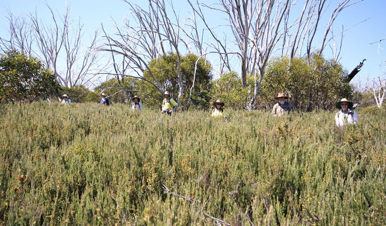 Volunteers survey for orange hawkweed in heath at Wuthering Heights, Kosciuszko National Park. Photo: Jo Caldwell