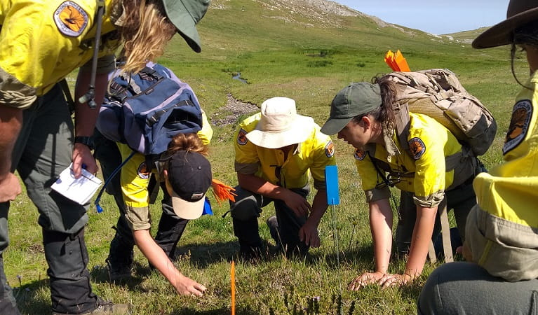 The hawkweed field team discover a patch of mouse-ear hawkweed, Kosciuszko National Park.  Photo: Rebecca Mooy © Rebecca Mooy/NPWS