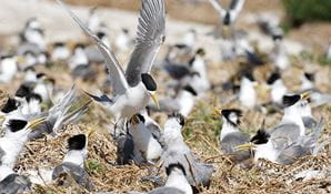 Crested terns (Sterna bergii) nesting site, Montague Island Nature Reserve. Photo: Stuart Cohen/OEH