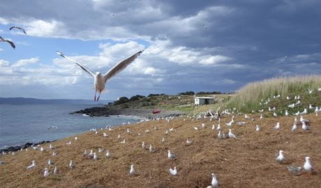 Silver gulls nesting on Big Island, Five Islands Nature Reserve. Photo: Rowena Morris © DPIE