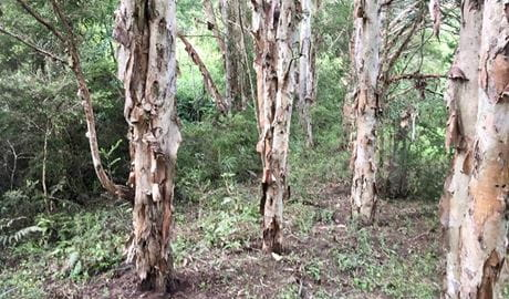 Paperbark trees in the bush. Photo: Colette Livermore © DPIE