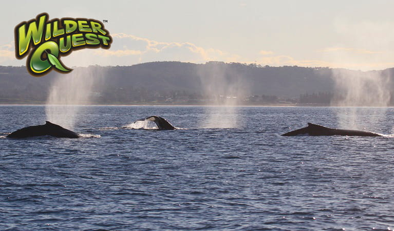 Humpback whales migrating, expelling air from their blow holes, Sydney Harbour National Park. Photo: OEH