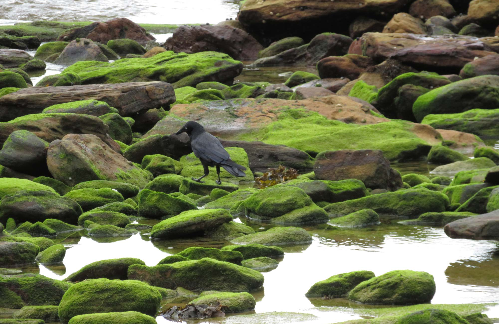 Bird on the rocks in Curracurrang in Royal National Park. Photo: K Cooper/OEH