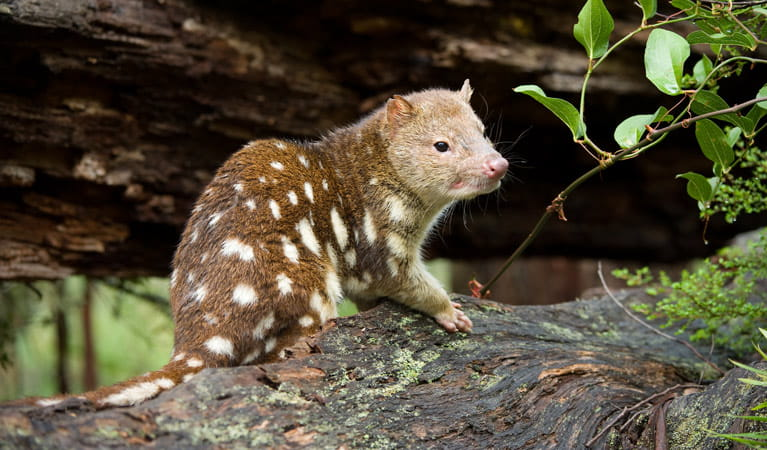 Spotted quoll, New England National Park. Photo: Jim Evans/NSW Government