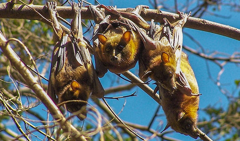 Wingham Brush Nature Reserve, little red flying foxes. Photo: NSW Government