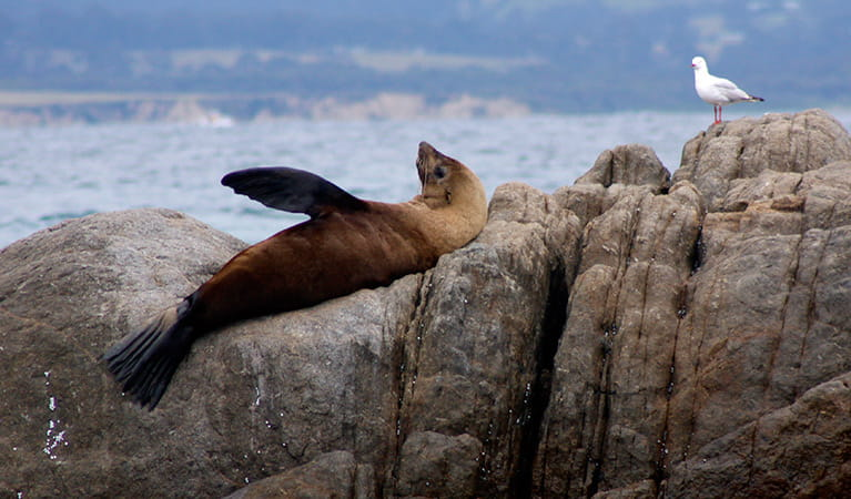 Australian fur seals, Montague Island Nature Reserve. Photo: OEH