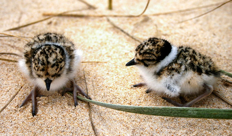 Hooded plover chicks (Thinornis rubricollis). Photo: Jodie Dunn