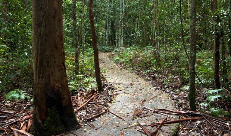 Blue Gum Loop track, Barrington Tops National Park. Photo: John Spencer
