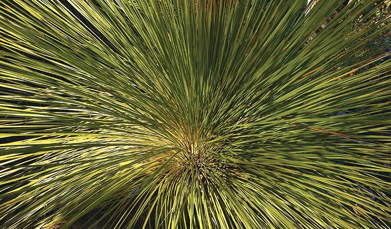 Grass tree, Muogamarra Nature Reserve. Photo: Michael Van Ewijk
