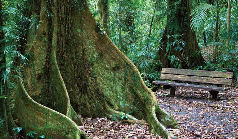A grand tree and park bench, Wonga Walk, Dorrigo National Park. Photo: Rob Cleary