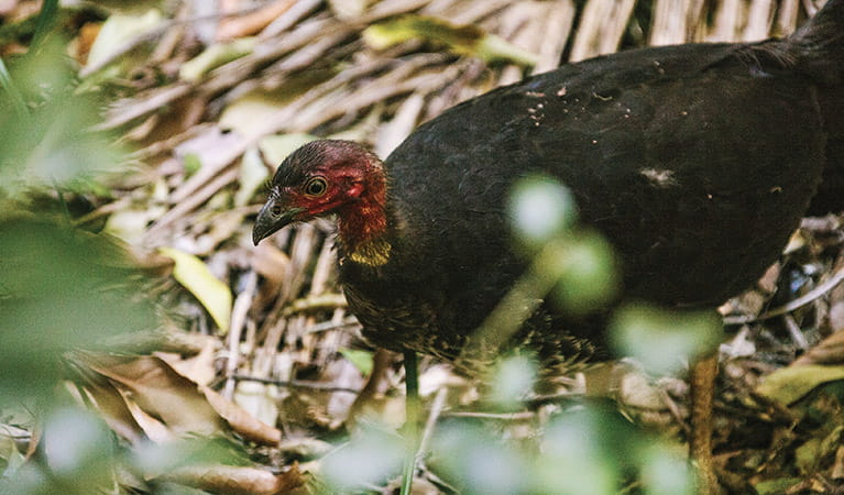 Australian brush turkey, Sea Acres National Park. Photo: David Finnegan