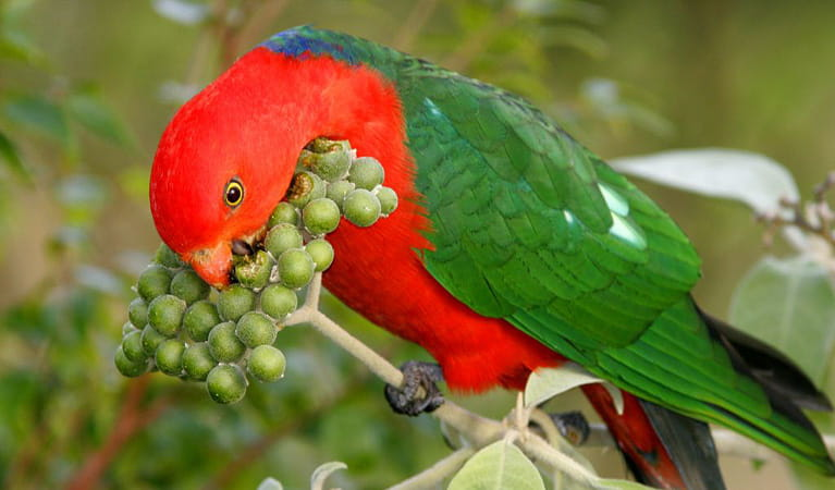 King Parrot, Richmond Range National Park. Photo: N Gambold/NSW Government
