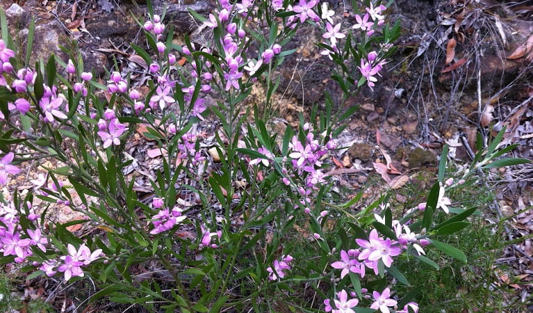 Pink wax flowers in bloom, Muogamarra Nature Reserve. Photo: OEH