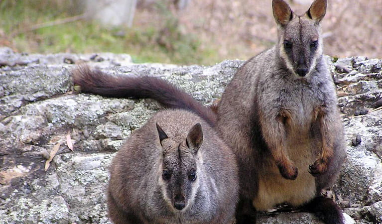 The Brush-tailed Rock-wallaby occupies rocky habitats. Photo: Melinda Norton/NPWS
